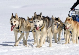 4685050-a-husky-sled-dog-team-at-work